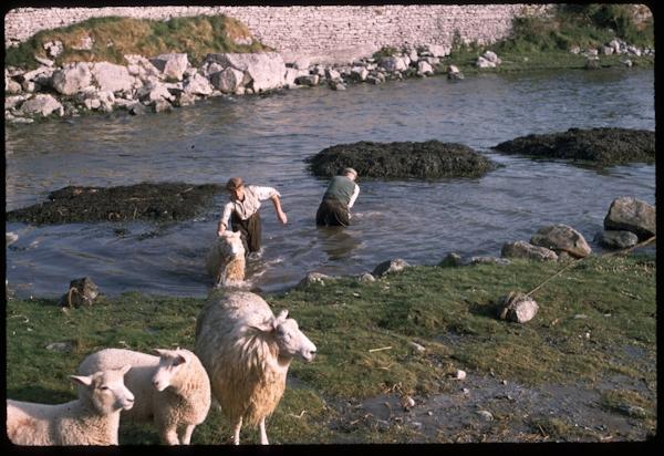 Climini - gathering seaweed in Kinvara
