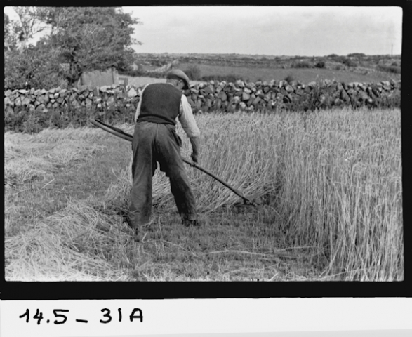 The Harvest in old Kinvara